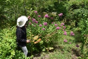 オオウバユリが人間より大きくなりました。開化はもう少しです。 もう咲いたかな?