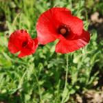 poppy170603_2