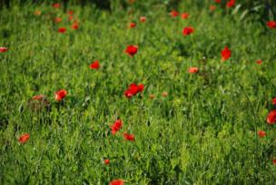 poppy170603_3